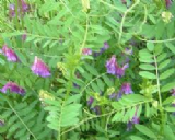 Tufted Vetch 500g 500 seeds - FREE POST
